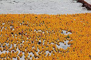 10.000 Enten schwimmen um die Wette